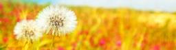 spring_dandelions-wallpaper-2880x1800_banner.jpg